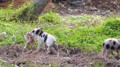 Small Pigs Playing Outdoors Stock Footage