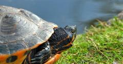4K Red Slider Turtle, Close Up Shot, Beside Pond Stock Footage