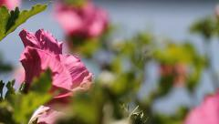 Rose of Sharon Bee Fly in and Out Stock Footage