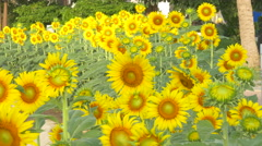 Sunflower field beautiful in nature - stock footage