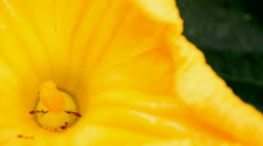 ants collecting pollen on yellow flower - stock footage