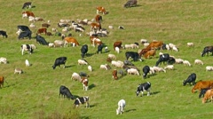 Herd of cows and sheep grazing in the meadow, 4k Stock Footage