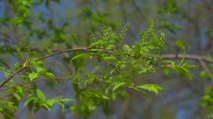Leaves and wild cherry blossoms Stock Footage