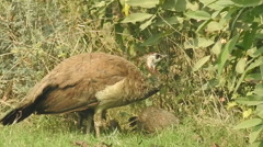 Peahen with her children Stock Footage