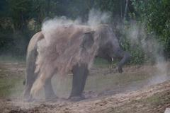 Elephant takes a dust bath Stock Photos