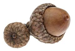 Twin Acorns Stock Photos