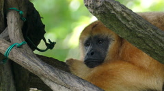 Brown Howler Primate - stock footage