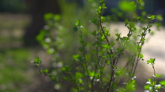 Bush with the first spring leaves Stock Footage
