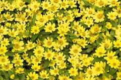 Vibrant yellow flowerbed - stock photo