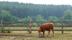 The calf on a summer pasture Stock Footage
