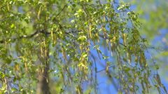 Branches of birch with catkins - stock footage