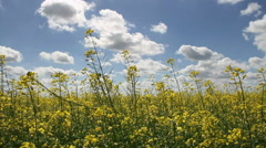 Yellow canola growing in a field. - stock footage