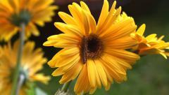 Caterpillar on Gerbera Flower Move - stock footage
