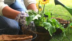 Gardener Places Gerbera Flower in Basket Stock Footage