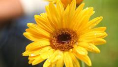 Watering Gerbera Flower Macro - stock footage