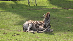 Young cute Zebra close up sitting on green grassy ground Stock Footage