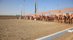 Camel race in Qatar Stock Footage