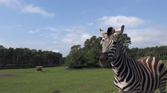 Zebras close up the car in tourism animal park Stock Footage
