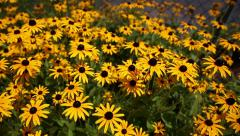 Black Eyed Susan Dollies Stock Footage