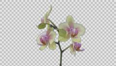 Time-lapse of opening Orchid Butterfly with ALPHA channel Stock Footage