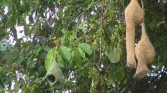 A Male Baya Weaver Bird Stock Footage
