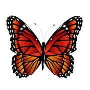 The Monarch butterfly  vector Stock Illustration