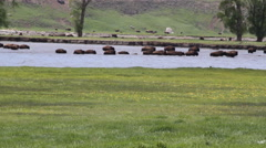 Buffalo (bison) swim across a river - stock footage