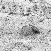 Dung beetle pushes his ball Stock Photos