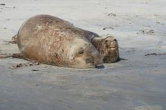 Elephant Seals Mating Stock Photos