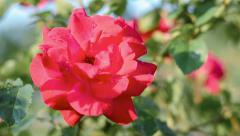 Red rose blooming in springtime. Stock Footage