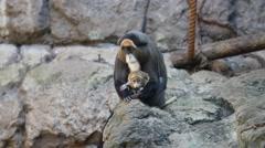 De Brazza's Monkey with Baby Stock Footage