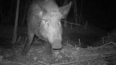 Wild Boar Talking Stock Footage