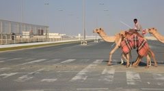 Racing camels in Qatar Stock Footage