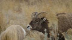 Bighorn Ram Following Ewe Closely Stock Footage