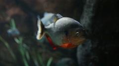 Piranha Turns Toward Camera Stock Footage