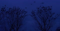 Blackbirds Ravens Crows Flock of Birds Are Sitting on a Tree Upper Branches Stock Footage