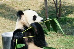 Giant panda eating Stock Photos