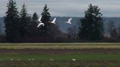 Swans, Trumpeter Swans, Birds, Fly, Flying, Flight Stock Footage