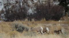 Medium - Rocky Mountain Bighorn Sheep Grazing Stock Footage