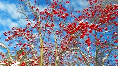 Walking through the rowanberry alley  in winter Stock Footage
