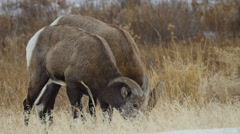 Two Bighorn Rams Graze Together - stock footage