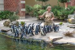 Zoo keeper is feeding penguins in the zoo of Antwerp - stock photo