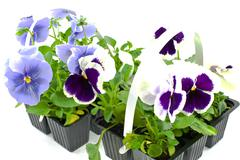 Stock Photo of violet pansy's sprouts in plastic boxes
