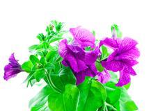 bright purple petunia - stock photo