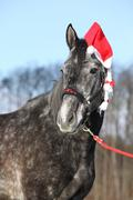 Amazing horse with christmas hat and gifts Stock Photos