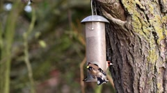 Goldfinch on Birdfeeder, In Winter. Fighting for Food. - stock footage