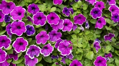 Petunia flowers Stock Footage