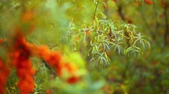 Branches of sea-buckthorn Stock Footage