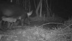 Hogs chase Raccoon Stock Footage