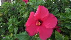 Pink hibiscus flower blossom waving in the wind Stock Footage
